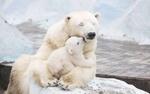 Обои Белый медвежонок сидит у лап мамы - белой медведицы