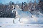 Обои Белый конь бежит по снегу на фоне леса