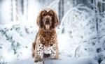 Обои Кокер-спаниель сидит на снегу, фотограф April Donnelly