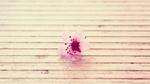 Обои Розовый цветок сакуры крупным планом лежит на досках