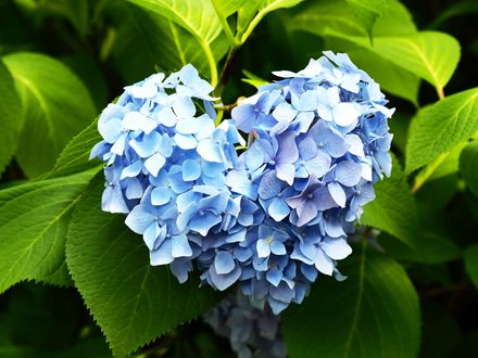 Обои для рабочего стола Соцветие голубой гортензии в форме сердца среди листьев (© Romi),Добавлено: 05.02.2018 10:36:31