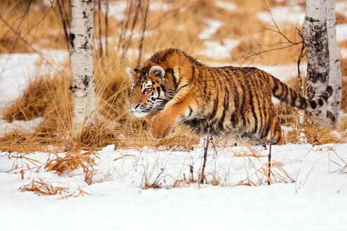 Обои для рабочего стола Молодой тигр застыл в прыжке над землей, покрытой снегом, фотограф Milan Zygmunt (© ASSUR),Добавлено: 16.02.2018 09:00:29