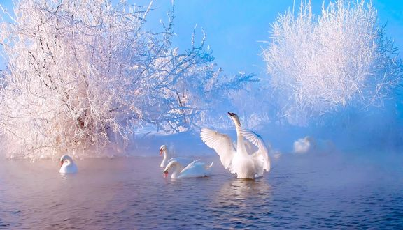 Обои для рабочего стола Белые лебеди в воде на фоне деревьев, покрытых инеем (© ASSUR),Добавлено: 21.02.2018 08:36:13