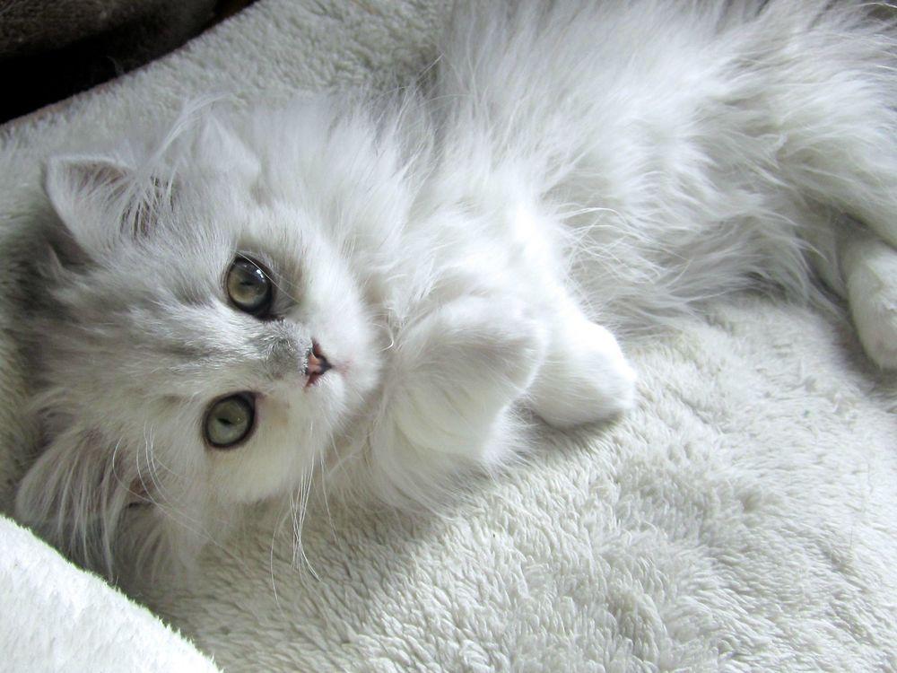 Днем, картинки кошки белые пушистые