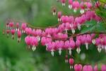 Обои Розовые цветы дицентры покачиваются на ветках