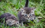 Обои Два серых котенка в траве