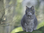 Обои Британская короткошерстная кошка сидит на фоне природы