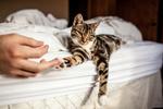 Обои Рука человека прикасается к лапке кота, лежащего на кровати, by Kym Ellis