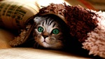 Обои Изумленный взгляд полосатого зеленоглазого котенка из под покрывала