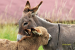 Обои Ослица со своим осликом