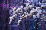 Обои Цветущие весенние ветки магнолии