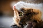 Обои Кошка лежит на голове и смотрит вверх, фотограф Martin Schаfer MS-Bilder