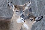 Обои Два оленя на природе, by Karen Hooper