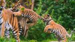 Обои Тигрята играют с мамой в заповеднике, by Tambako Jaguar