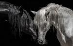 Обои Черная и белая лошадь прикасаются головами, фотограф Alfredo Lоpez
