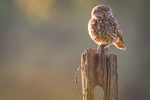 Обои Сова на пне, фотограф Mark Bridger
