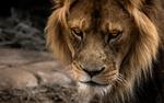 Обои Морда льва крупным планом
