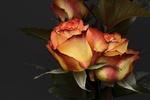 Обои Желто-розовые розы на сером фоне