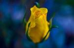 Обои Желтая роза на фоне боке