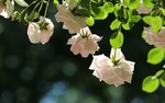 Обои Белые розы на фоне боке, фотограф Irina Dimulescu