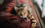 Обои Зеленоглазая кошка лежит на ковре
