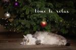 Обои Котенок породы рэгдолл спит под новогодней елкой (time to relax / время расслабиться), фотограф Monika Koc