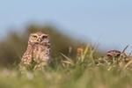 Обои Две совы в траве, by Michel Boisvert