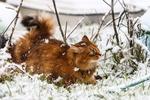 Обои Рыжая кошка на снегу