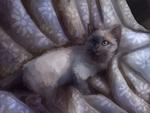 Обои Сиамский котенок на сером покрывале, by burboze