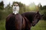 Обои Щенок сибирского хаски стоит на лошади на фоне природы, фотограф Светлана Писарева