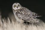Обои Короткая ушастая сова в траве ночью, фотограф Arno van Zon