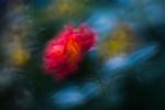 Обои Красная размытая роза