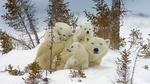 Обои Белая медведица с медвежатами отдыхают на снегу, by Tianwen CHEN