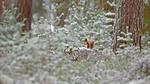 Обои Белочка в зимнем лесу