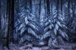 Обои Снежный лес морозным днем, фотограф Jan - Herman Visser