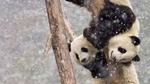 Обои Две панды на дереве, фотограф Tianwen CHEN