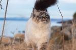 Обои Невская маскарадная кошка на фоне природы