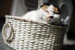 Обои Пухлый котик в корзине