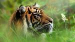 Обои Тигрица в траве, фотограф Marcel Bressers