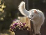 Обои Белая кошка стоит у заборчика, за которым растут цветы, фотограф Sveta Butko