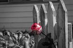 Обои Розовая роза у забора, фотограф Ryan Partin