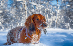Обои Собака породы такса на снегу