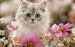 Обои Пушистый котенок в цветах космеи