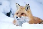 Обои Лиса отдыхает на снегу