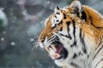 Обои Тигр с открытой пастью на фоне падающего снега, фотограф Maxime Riendeau