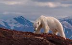Обои Белый медведь взобрался на скалу на фоне гор