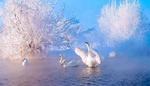 Обои Белые лебеди в воде на фоне деревьев, покрытых инеем