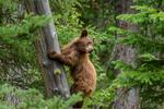 Обои Бурый медведь на дереве, фотограф Josh T