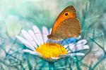 Обои Бабочка на ромашке, фотограф Mustafa Оzturk