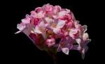 Обои Розовые цветы на черном фоне